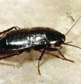 Oryantal Hamam Böceği